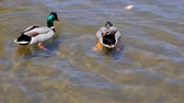 brochura : close-up of a young couple of male and female ducks in love swimming clean lake Stock Footage