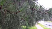 coniferous trees : A evergreen tree branch wet with tiny water drops after a spring rain.