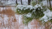 geada : Pine christmas tree winter branch in snow