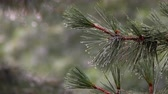 colapso : Hail Falling Pine Tree Branches And Water Flowing Pine branch with raindrops 4k Vídeos