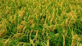 падение : the shaking ear of rice plant