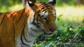 саванна : Wildlife in nature The tiger stands in the forest in India Стоковые видеозаписи