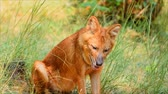 muson : asiatic wild dog in the wild in South Africa