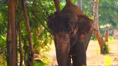 equador : Elephant feeding out food in the natural forest Stock Footage