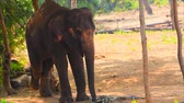 muson : Elephants were raised for use in logging in Thailand Stok Video
