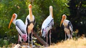 tigris : Painted Stork birds with yellow mouth and long legs