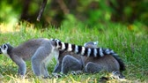 muson : Two Lemur sitting in the middle of the grass Stok Video