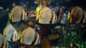 black sea turtle : Flocks of circular spadefish in the sea