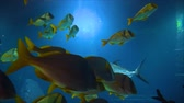 black sea turtle : Caranx fish and yellow fish are watered in the aquarium Stock Footage