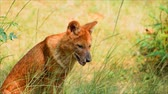 etobur hayvan : asiatic wild dog sitting in the forest