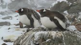 winter : two female Gentoo penguins sitting on a nest in spring snowstorm