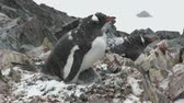 female Gentoo penguin sitting in the nest during a snowfall