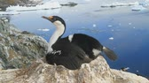female Antarctic cormorant sitting in a colony 動画素材