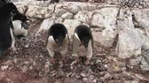 птицы : two adelie penguins that stand in