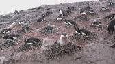 cold winter : rainbow colony of the penguins on a snowy summer day