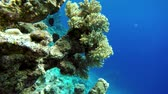 piekne : Ocean observing in vivo. Video shooting at a shallow depth. The corals and tropical fish. Wideo