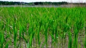 reed : many fresh green reeds moving in the wind Stock Footage