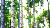 Trunk of birch tree on beautiful summer day Stok Video