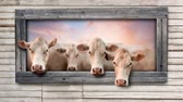 Animation of cows looking through window of aged wooden building