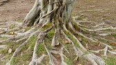 Trees with roots on the ground Stock Footage