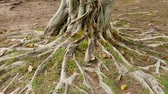 кактусы : Trees with roots on the ground Стоковые видеозаписи