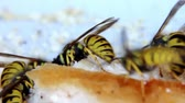 hornets : wasps eat the lard and pepper Stock Footage
