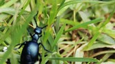 big black beetle (Meloe proscarabaeus) in the forest Stock Footage