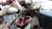 sümüksü : Rotten fish stinky smell with flies in Asian market - Unhealthy dirty food bacteria contaminated, food poisonous risk