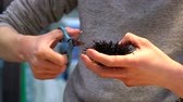 gutting : Man Cleaning Sea Urchin, prepare for sushi Stock Footage