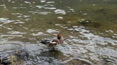 Locked shot with the wild duck was preening feather, standing on the rock  in the river