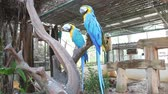 macaw parrot : Bird Blue-and-yellow macaw standing on branches