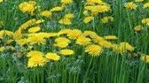 Blooming dandelions (Taraxacum officinale) healing herbs in the grass on shady place