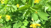 Greater celandine (Chelidonium majus) healing herb in the wind