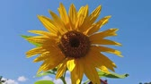 Common sunflower - Helianthus annuus with blue sky in the background