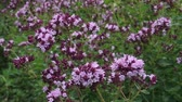 Pink flowers of blooming oregano - Origanum vulgare in the garden