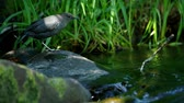 fishing : American Dipper along a stream Stock Footage