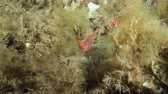 deep sea shrimps : Prawn on seaweed, some plankton also visible. Shot in the wild, nighttime. Stock Footage