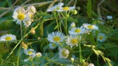 rumianek : Camomile Flowers Nature Wideo