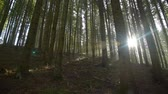 musgoso : Suns rays in forest