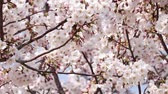 cronometragem : Close up of cherry blossoms in full bloom