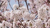 se movendo para cima : Close up of cherry blossoms in full bloom