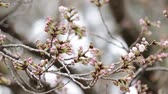 avant : Close up of cherry blossom bud Vidéos Libres De Droits