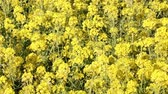 moving down : Rape blossoms in full bloom swaying in the wind Stock Footage