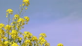 oldal : Rape blossoms in full bloom