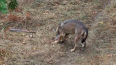 fawn : Wolf caught outdoors in nature while eating the meat of a prey. Specimen of wolf from the central Apennines in Italy. Stock Footage