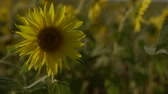 flower growing sun : Bright yellow sunflowers swaying in the field slow motion