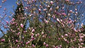 luxuriante : close up shot of a tree, on branches that are located on the trunk bloomed magnolia flowers began, a beautiful tree is in the park in the spring time