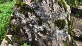хвойный : Close up shot of a big rock covered with moss in forest. Old and hard rock. Beautiful texture.