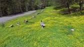 ucieczka : Slim young woman is strolling over grass and blooming plants in meadows in forest. Aerial view of her movements in summer day