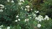 green area : close up shot of a beautiful rose bush that blossoms in the garden, the flower has white boots and smells aromatically on this summer day
